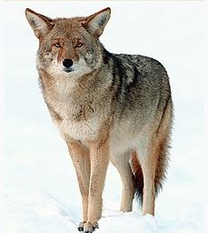 Coyote Pic
